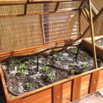 The cold frame is designed to fit on any box, for seasonal rotation.