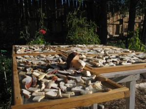 Wild harvested Boletus Edulis Mushrooms drying in the sun.