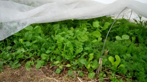 Greens thriving under remay cloth in a cold frame.