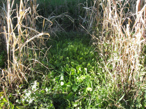 Cover crop between old millet crop.