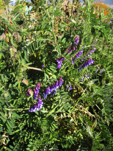 Hairy vetch in flower.