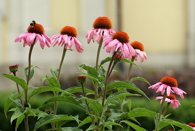 Coneflower - (Echinacea) - Great for beneficial insects, humming birds, seeds are eaten by birds.