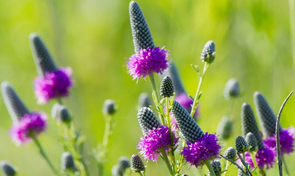 purple prarie clover