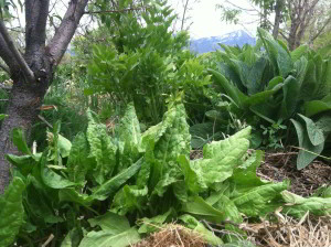 Sorrel in a guild with yarrow, comfrey and lovage around a peach tree.