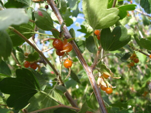 Edible Western Colorado Native: Golden Current, with bright orange berries.